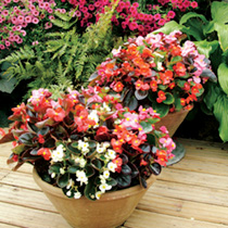 Begonia Plants - F1 President Mixed