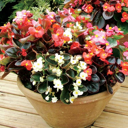 Begonia Potted Plants - F1 President Mix