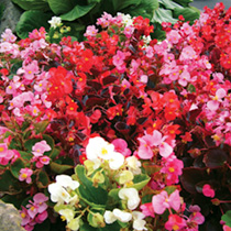 This blend of dark and green leaved plants is just right and the mix contains all the flower colours currently available in the semperflorens type. Ad