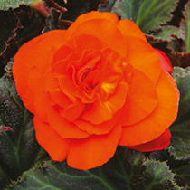 Begonia Plant - Non-Stop Mocca Bright Orange
