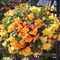 Image of Begonia Plants - Illumination Apricot Shades