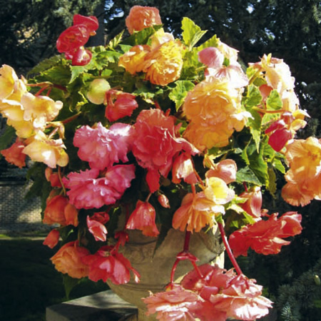 Begonia Tubers - Scented Collection