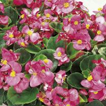 Begonia Plants - F1 Ambassador Pink