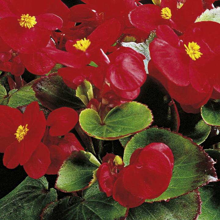 Begonia Plants - F1 Ambassador Scarlet