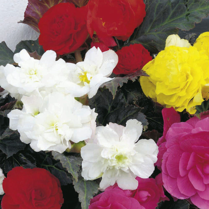 Begonia Plants - F1 Nonstop Mocca