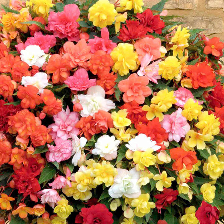 Begonia Plants - Super Cascade Mix