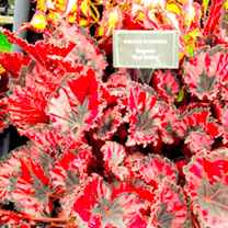 Begonia Plant - Red Robin