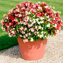 This is a semperflorens type with big 3-4cm diameter blooms. The large, spreading plants make it an economical way to fill a border, with 40% less pla