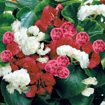 Begonia Plants - Queen Mixed
