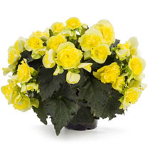 Image of Begonia Plant - Solenia Yellow