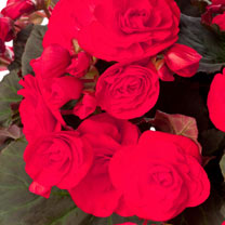 Image of Begonia Plant - Solenia Red Improved