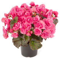 Begonia Plant - Solenia Light Pink