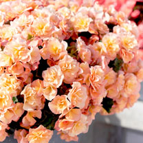 The Begonia Solenia is extremely versatile and is happy almost anywhere. This mildew resistant begonia, performs beautifully as bedding, as well as in