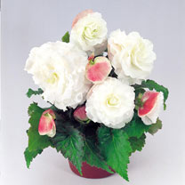 Image of Begonia Plants - Nonstop Appleblossom
