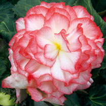 Image of Begonia Plants - Nonstop Rose Petticoat