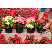 Image of Begonia Mix Plants - Lucky Dip