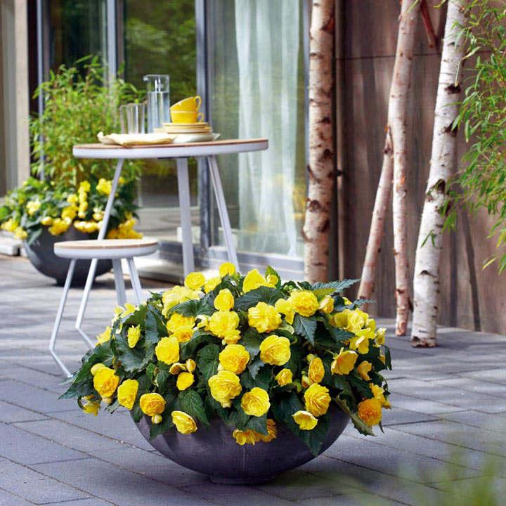Begonia Plants - F1 Nonstop Joy Yellow