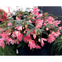 Begonia Plants - Funky Light Pink