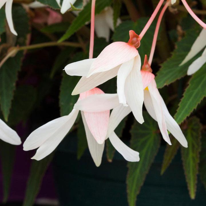 Begonia Bossa Nova Plants - Pure White