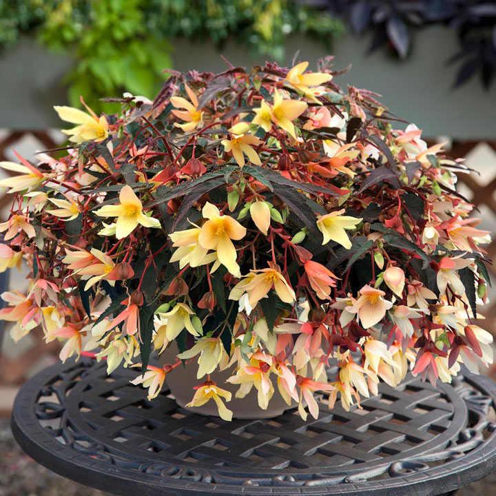 Begonia Bossa Nova Plants - Pure Yellow