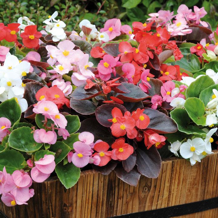 Begonia Plug Plants - Devils Delight Mixed