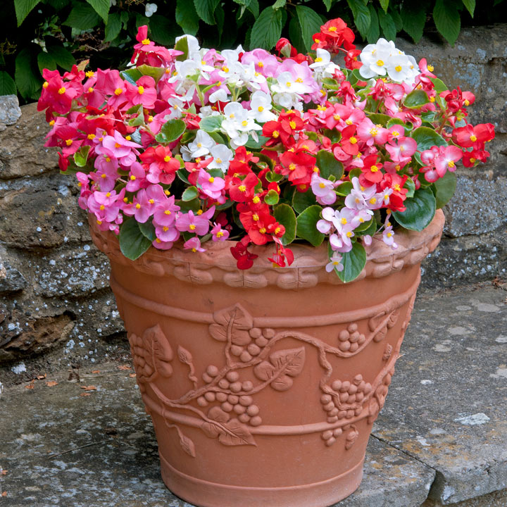 Begonia Plants - Heaven Mixed