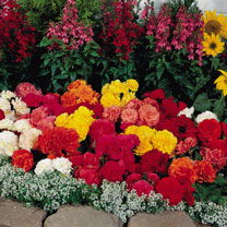Begonia Plants - Nonstop Mix