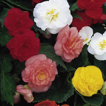 Begonia Pellets - Non-Stop Mixed F1