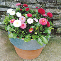 Image of Bellis Plants - Spring Star Mix