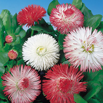 Bellis Seeds - Giant-Flowered Mixed