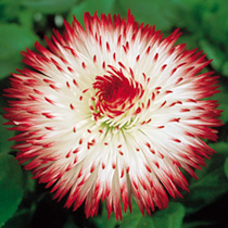 Bellis Plants - Harbanera White Red Tips