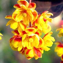 Berberis thunbergii Plant - Atropurpurea