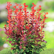Berberis thunb. Plant - Orange Rocket