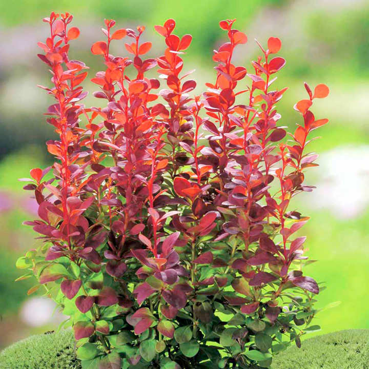 Berberis thunb. Plant - Orange Rocket®