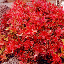 Berberis thunb. 'Admiration'