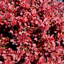 Berberis thunb. Plant - Admiration