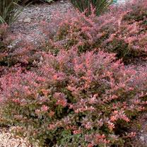 Berberis thunb. Plant - Carbernet® First Editions®