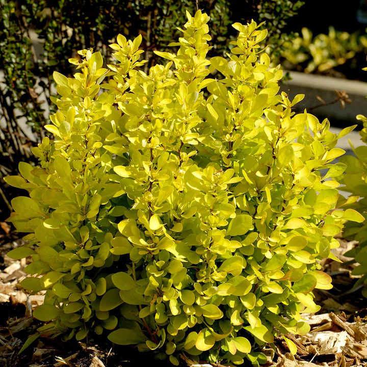 Berberis thunb. Plant - Maria®