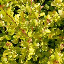 Betula nana Golden Treasure® Plant