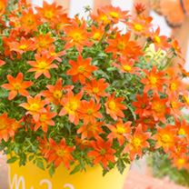 Bidens Plants - Beedance Orange Splash