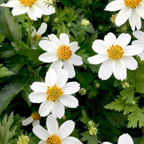 Bidens Plants - Timeless Collection