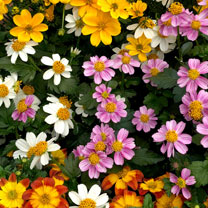 Image of Bidens Plants - Timeless Collection