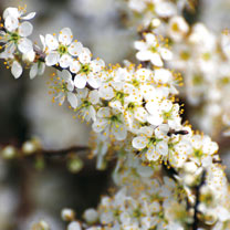Prunus spinosa (Blackthorn) Plants - 2L Value Hedging Range