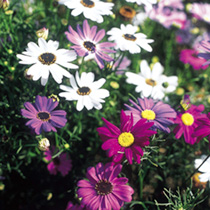 Originating from Australia, this lovely annual, with its daisy-like flowers, becomes a feast of colour in the summer months. Flowers in shades of purp