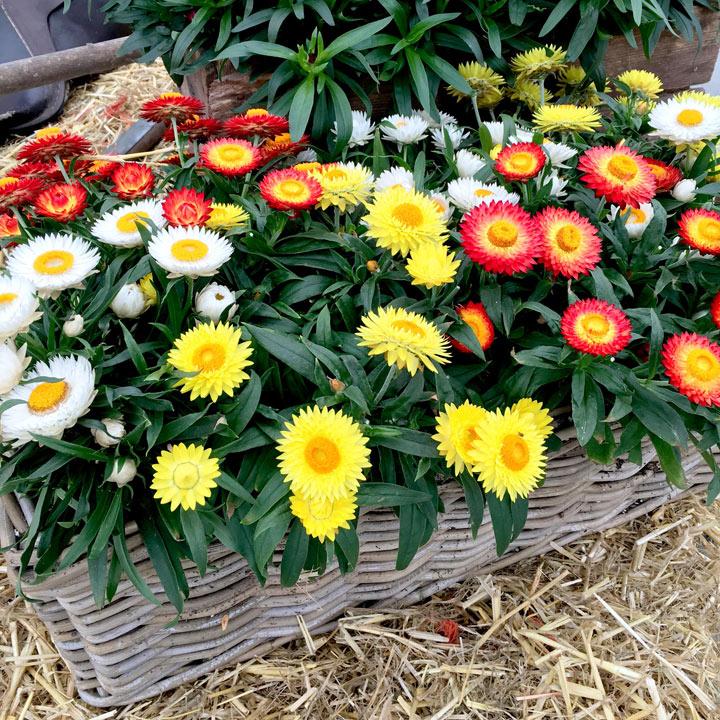 Bracteantha Plants - Summer Delights Mix