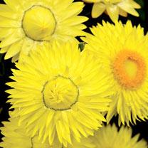 Image of Bracteantha Plants - Cottage Yellow