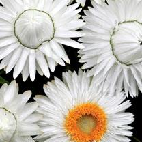 Image of Bracteantha Plants - White