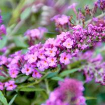Buddleia Plant - Free Petite® Dark Pink