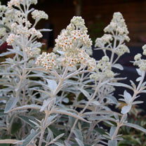 Buddleia Plant - Silver Anniversary