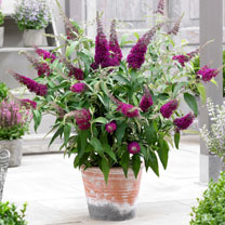Image of Buddleia Plant - Sugar Plum